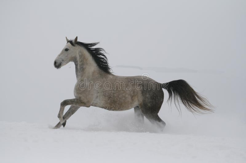 Snow flies out of the hoof. The gray stallion galloping on the slope in the snow. stock photo