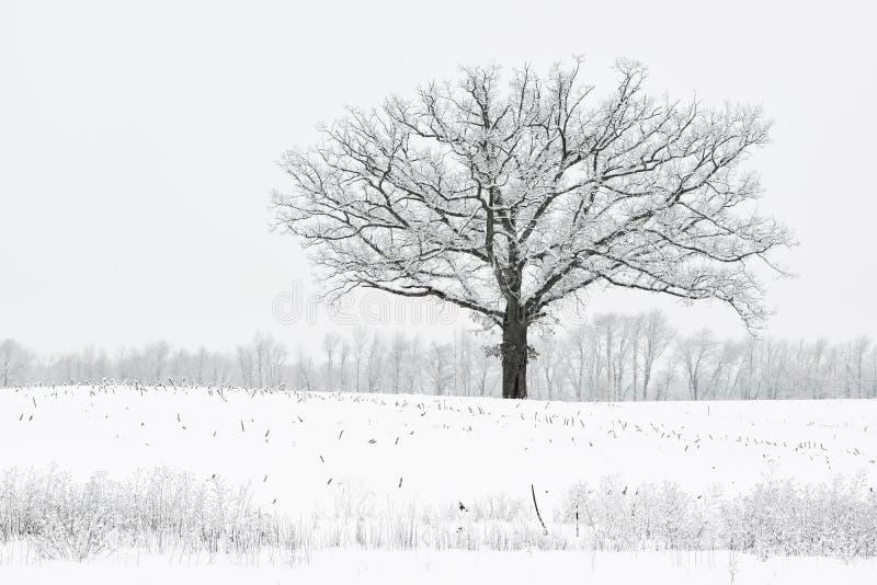Snow Flocked Trees Stock Photography