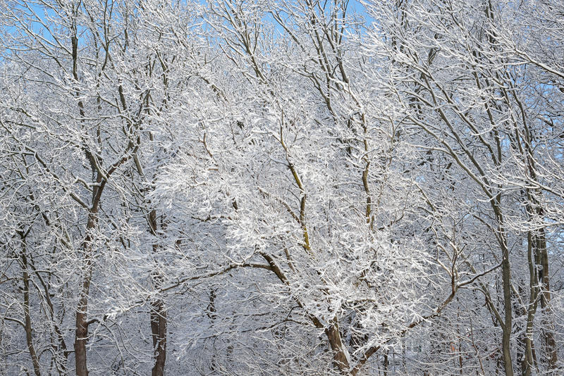 Snow Flocked Trees Stock Images