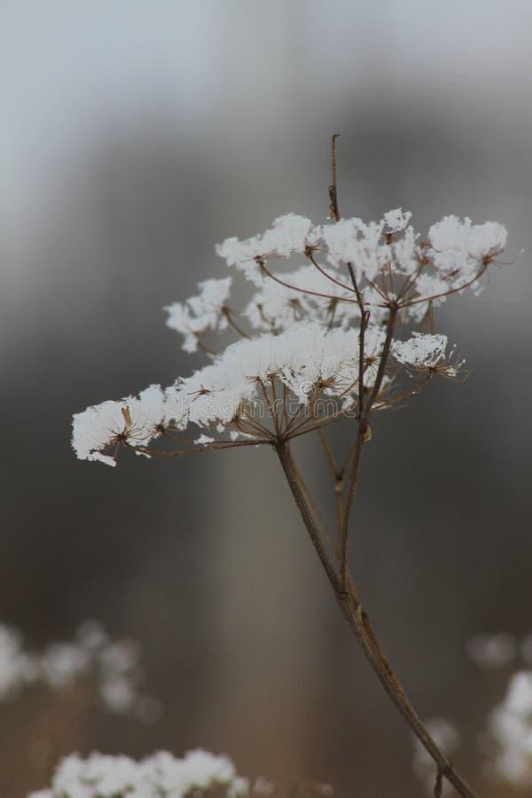 snow flower royalty free stock photo