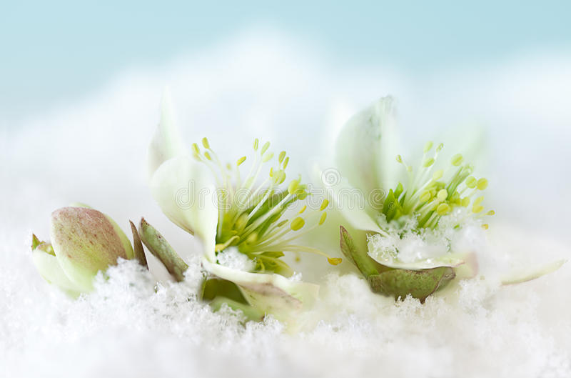 Snow flowers. Petals of Helleborus or Christmas rose peeping out of the snow stock images