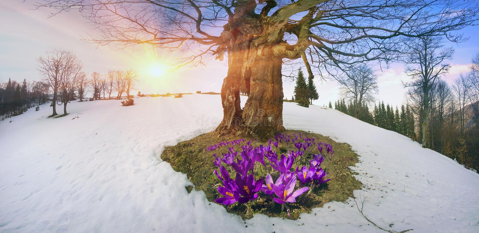 Snow flowers - Crocuses stock image. Image of background ...