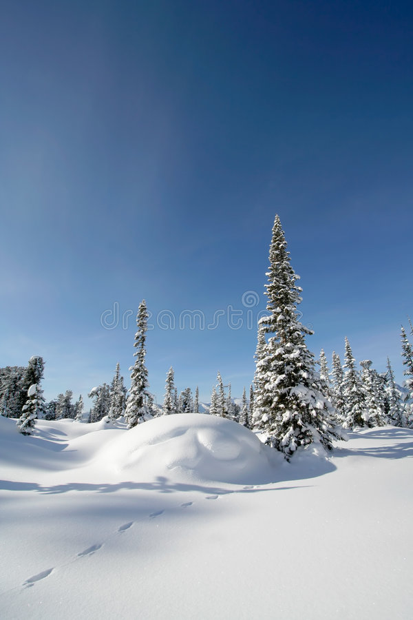 Snow forest. Pine trees covered with fresh snow. Sunny day stock images