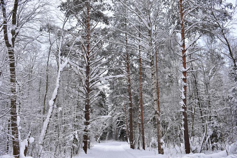 Snow forest biome, similar to the biome of the taiga in the ordinary world. Pine trees cover the area royalty free stock photography