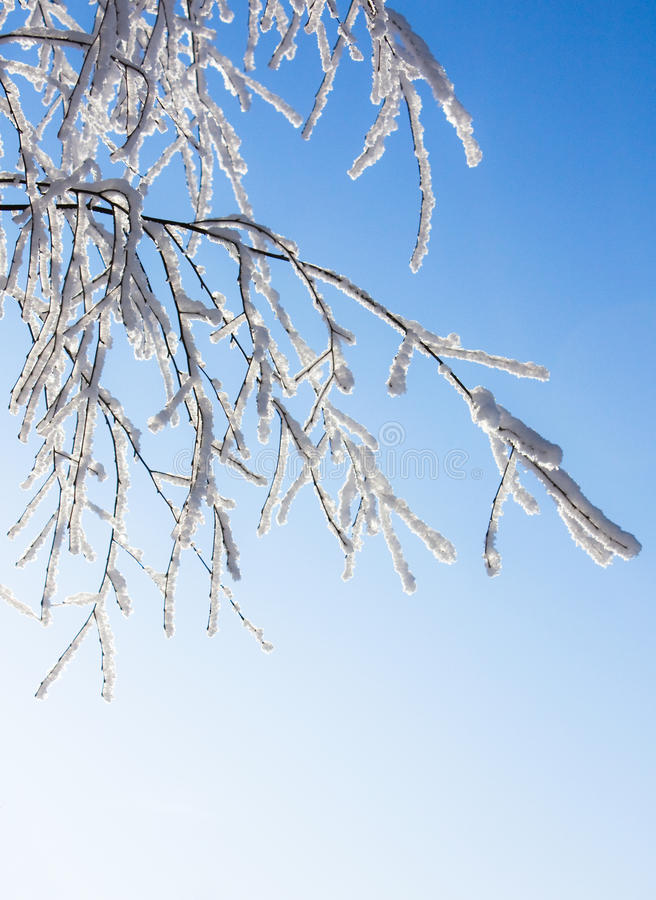 Download Snow-frost Covered Branch Of Birch Stock Image - Image: 13159209