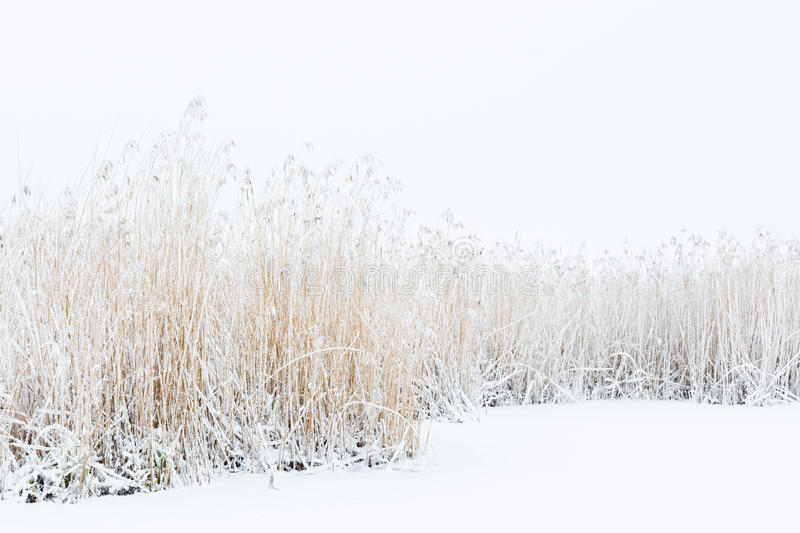 Snow and frost at a reed bed royalty free stock photos