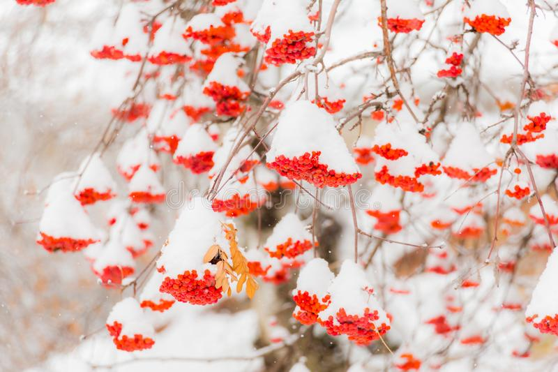 Snow and frost on the tree branches. Ripe bunches of Rowan. Winter day royalty free stock photography