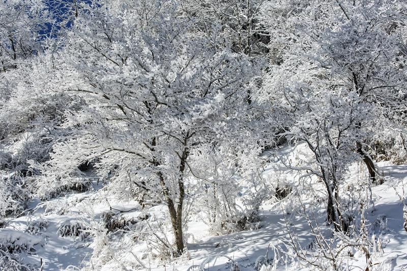 Snow and frost in the trees. Snow and frost on the trees in the mountain forest stock photos