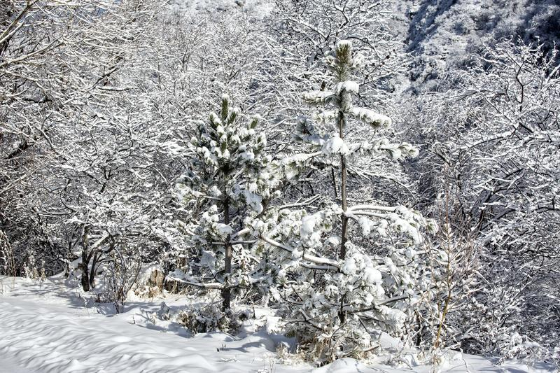 Snow and frost in the trees. Snow and frost on the trees in the mountain forest stock photography