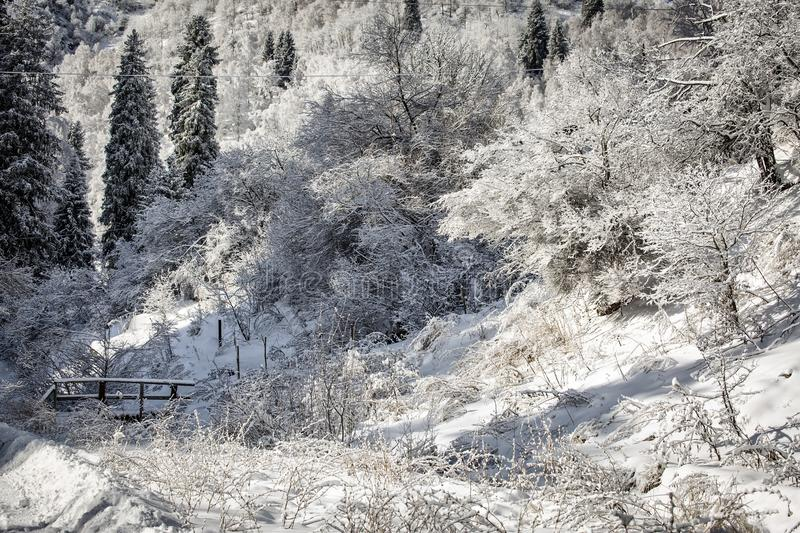 Snow and frost in the trees. Snow and frost on the trees in the mountain forest royalty free stock image