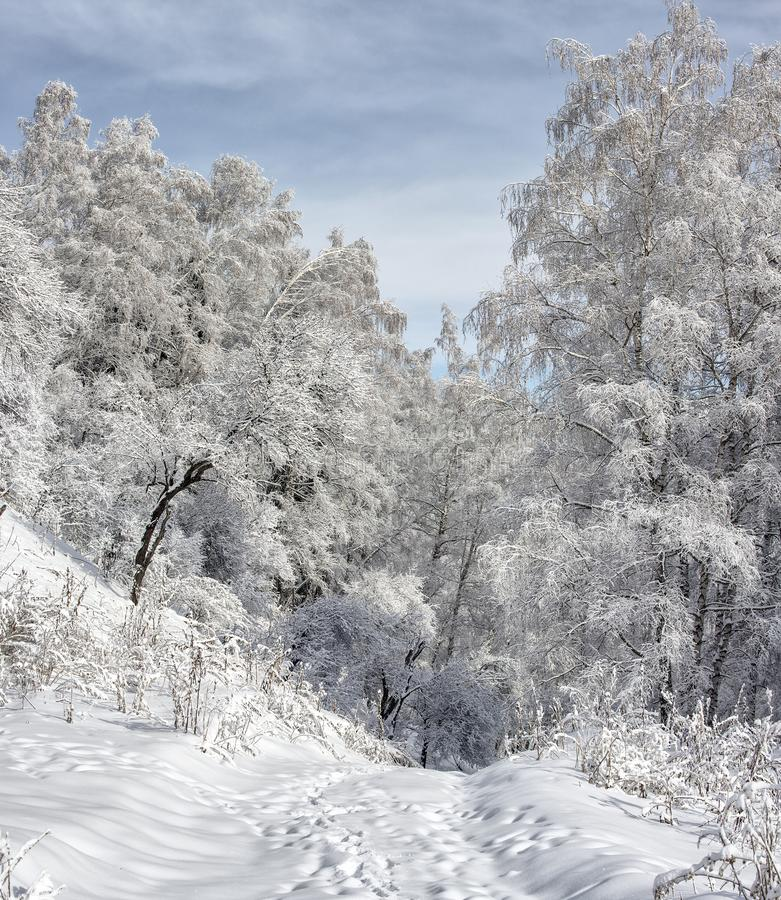 Snow and frost in the trees. Snow and frost on the trees in the mountain forest stock images