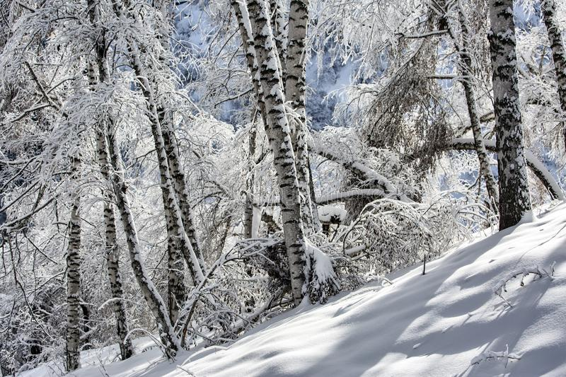 Snow and frost in the trees. Snow and frost on the trees in the mountain forest stock photo