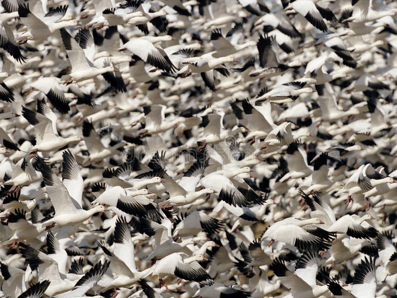 Download Snow Geese stock photo. Image of multitude, flock, blastoff - 12231946