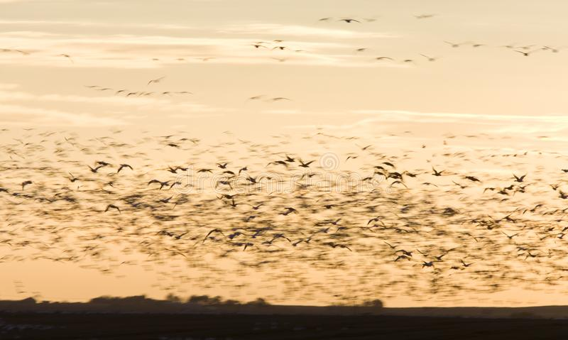 Download Snow Geese stock photo. Image of wild, canada, migrate - 16359718