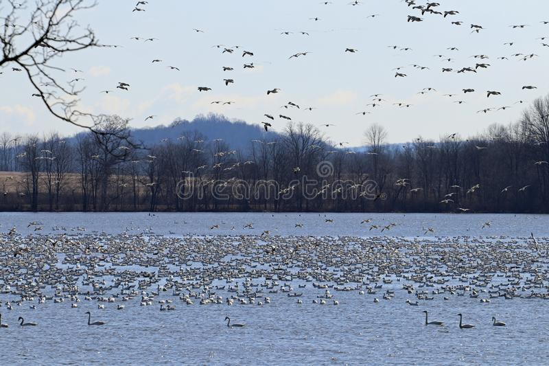Snow geese coming in. For a landing on Middle Creek Lake royalty free stock images