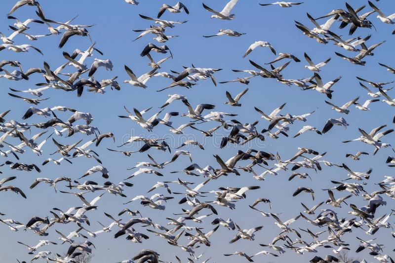 Snow geese fall migration, huge flocks flying royalty free stock photos