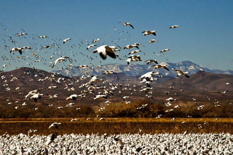 Snow Geese in Flight stock image