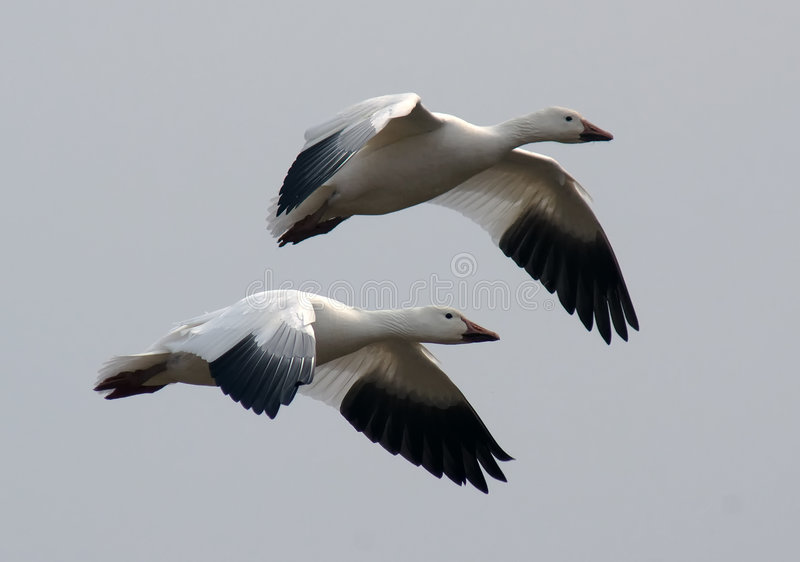 Download Snow Geese in Flight stock photo. Image of flight, migrate - 8483736
