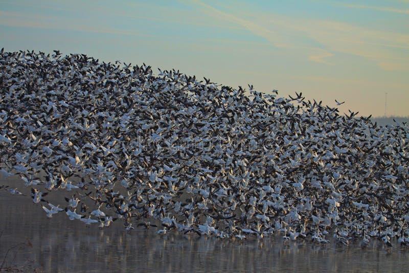 Snow Geese in flight stock photos