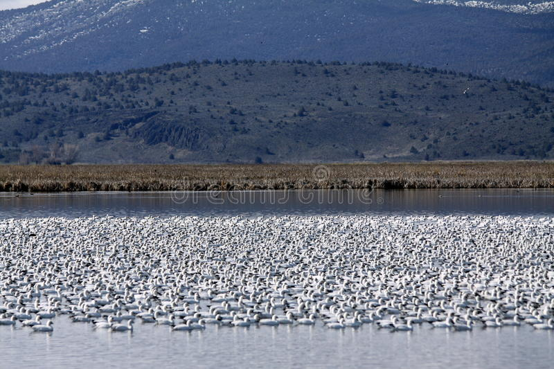 Snow Geese Flock. A flock of migrating snow geese swimming together in a lake royalty free stock photography