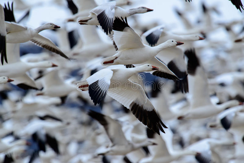 Snow Geese flock in flight. A huge group of Snow Geese in flight in Pennsylvania