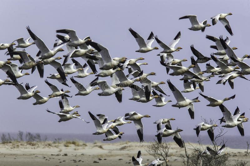 Snow Geese. A flock of Snow Geese take to the air in Chincoteague Island Virginia stock photos