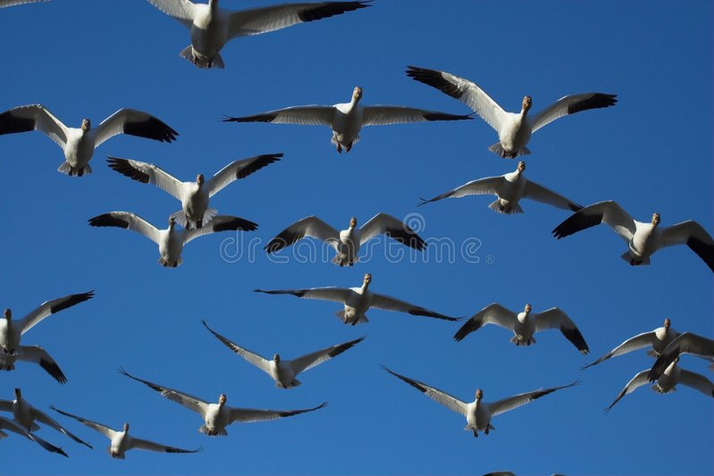 Snow geese flying stock images
