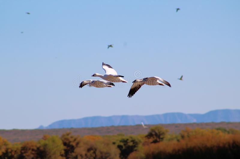 Snow Geese on the Wing stock images
