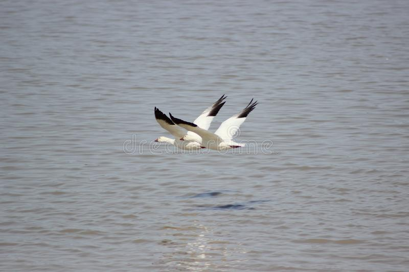 Snow geese flying over water royalty free stock image