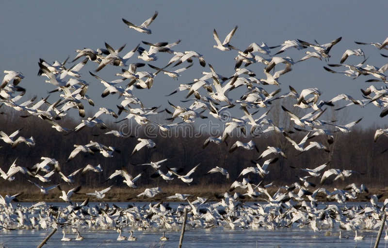 Snow geese migration1 royalty free stock photo