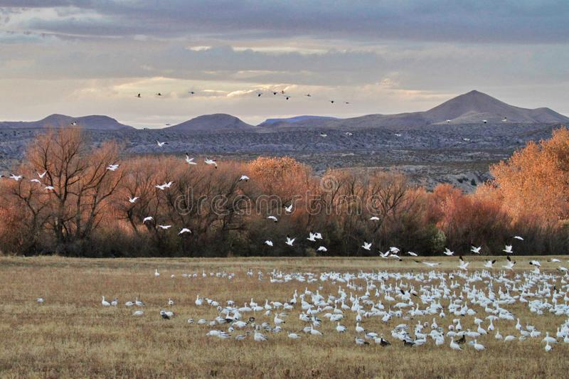 Snow Geese in New Mexico. Bosque del Apache near Socorro, New Mexico has many diverse species of birds and wildlife. Snow Geese, Great Blue Herons and Sandhill royalty free stock photos