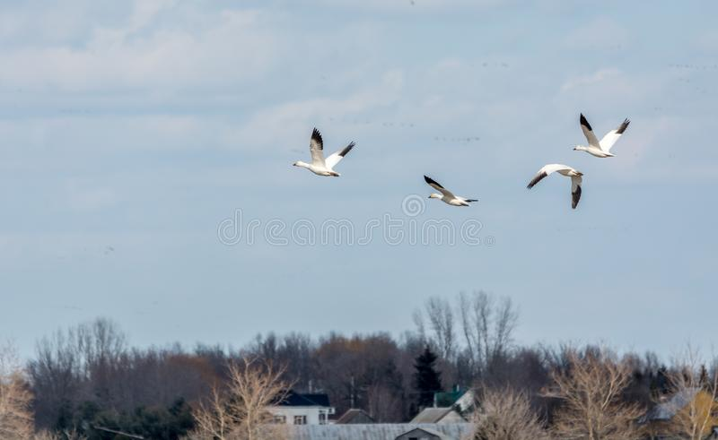 Snow Geese over a Corn Field,Quebec, Canada stock photography