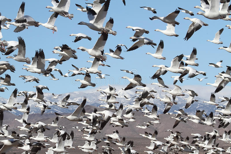 Download Snow Geese And Snow-covered Mountains Stock Photo - Image of mexico, bosque: 22883440