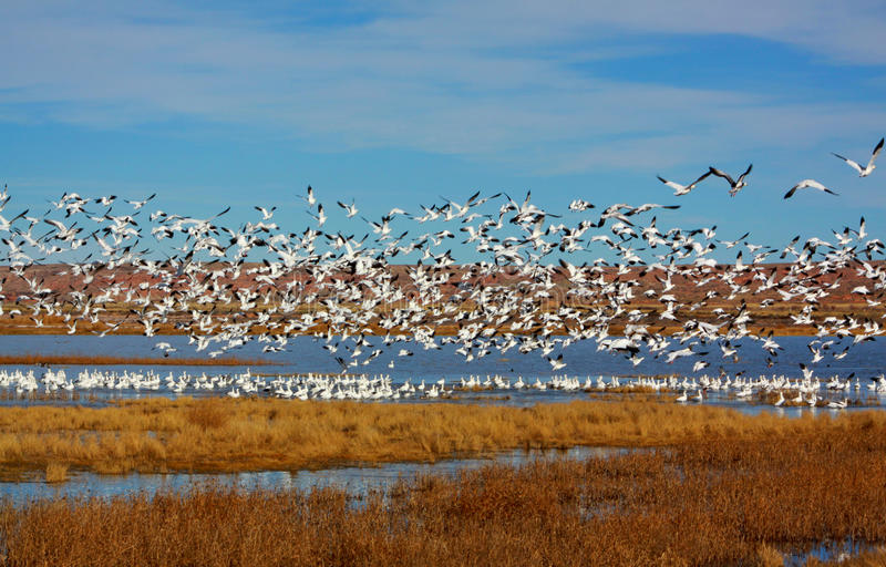 Snow Geese Taking Off. In New Mexico royalty free stock image