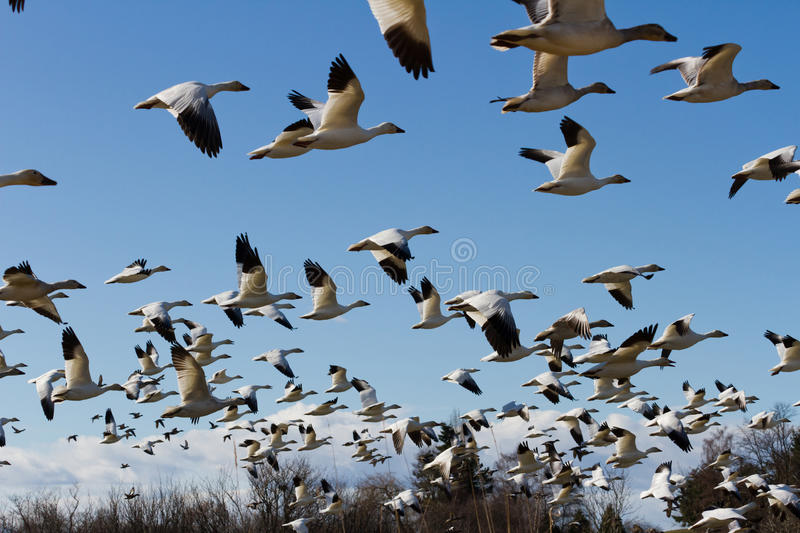 Download Snow Goose stock image. Image of flying, bird, snow, nature - 24096373