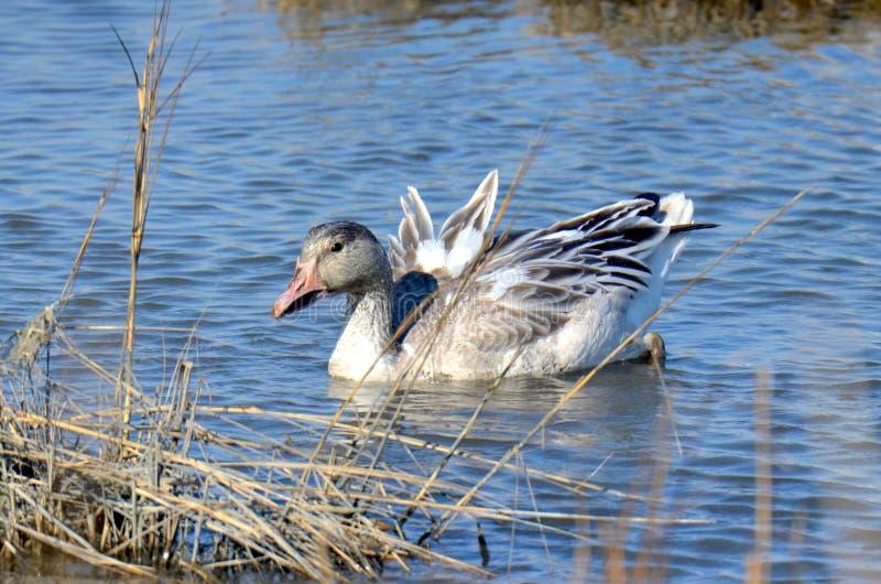 Snow Goose stock image