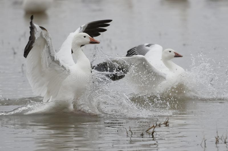 Snow Goose chasing a rival - New Mexico stock photography