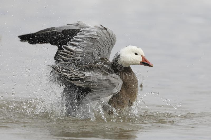 Snow Goose dark morph bathing in a pond in winter royalty free stock photo