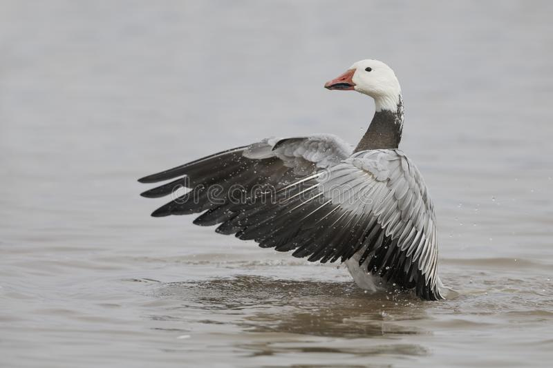 Snow Goose, dark morph, flapping its wings to dry them royalty free stock photography