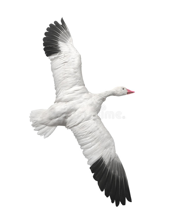 Snow goose in flight isolated. royalty free stock photo