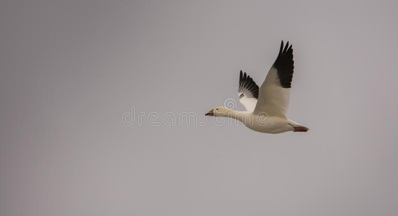 Snow goose flying toward the Arctic stock image