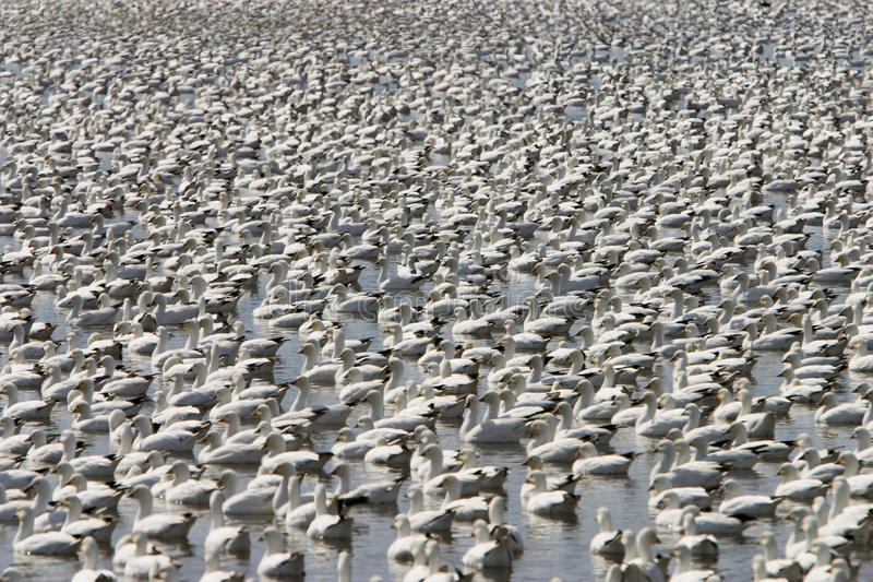 Snow gooses