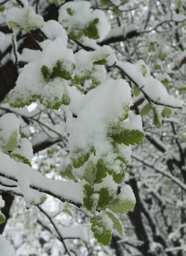 Snow on green leaves royalty free stock photo