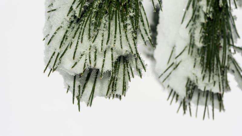 Snowy pine needles stock images