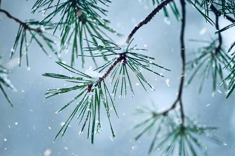Snow and ice on the plants in winter, white and cold days. In winter season royalty free stock photo