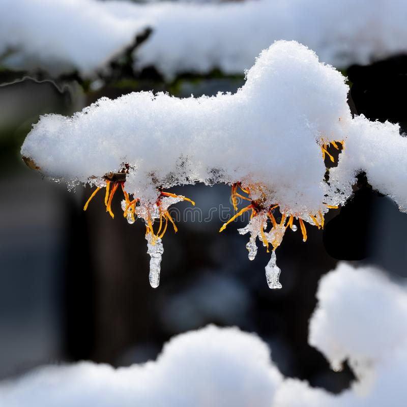 Snow and icicles on tree branch royalty free stock photography