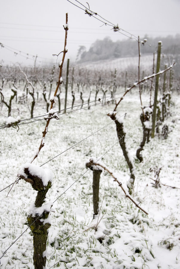 Free Snow In Vineyard Stock Photo - 1853380