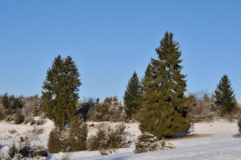 Winter in swabian alb. Snow in juniper heathland with spruces and juniper shrubbery in swabian alb, a mountain region in southern germany royalty free stock photos