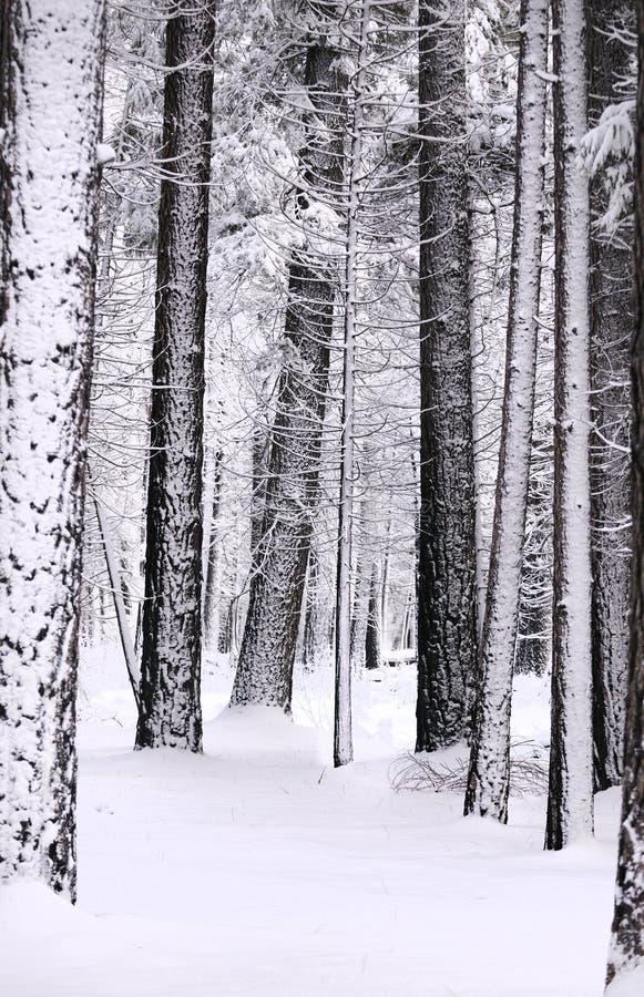 Snow laden trees royaltyfri foto