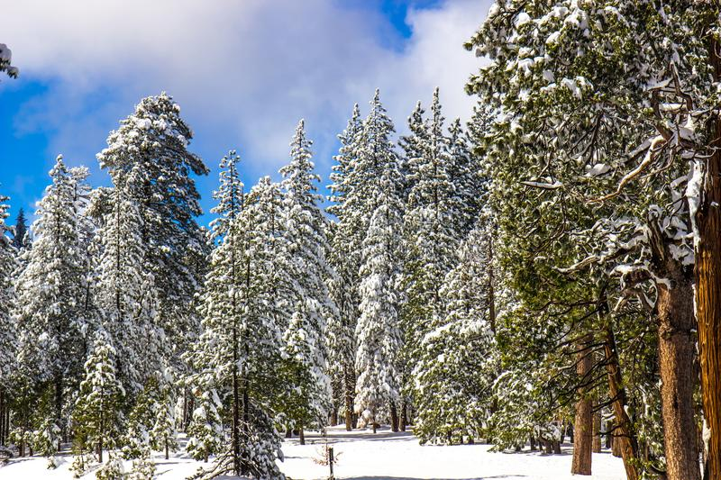 Snow Laden Trees In Mountain Forest. With Blue Sky Background royalty free stock photography